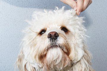 köpeklerde kulak bakımı